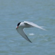 Common Terns on Lake Erie