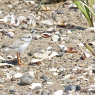 Piping Plover hatchling (Charadrius melodus)