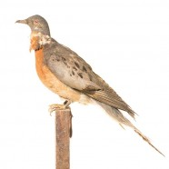 Passenger Pigeons and Bird Fest 2014