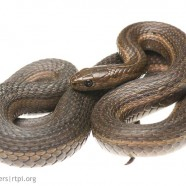 Short-headed Garter Snake (Thamnophis brachystoma)
