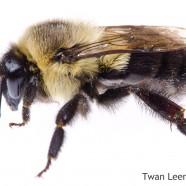 Common Eastern Bumblebee (Bombus impatiens)