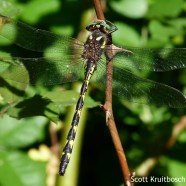 Delta-spotted Spiketail (Cordulegaster diastatops)