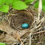 Gray Catbird (Dumetella carolinensis) nest