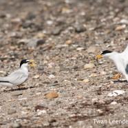 Least Terns (Sternula antillarum)