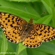 Butterflies – National Pollinator Week