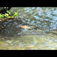 Eastern Spiny Softshell Turtle diving