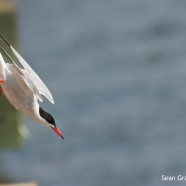 Common Tern diving