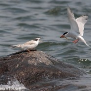 Common Terns feeding young