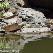 Eastern Spiny Softshell Turtles (Apalone spinifera)