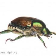 Japanese Beetle (Popillio japonica)