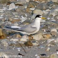 Audubon Alliance for Coastal Waterbirds at Jamestown Audubon