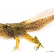 Leopard Frog tadpole