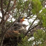 Northern Mockingbird nestlings
