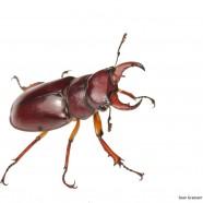Reddish-brown Stag Beetle (Lucanus capreolus)