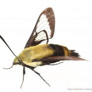 Snowberry Clearwing Moth (Hemaris diffinis)