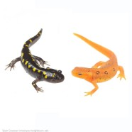 Spotted Salamander and Eastern Newt