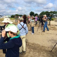 Connecticut Ornithological Association/Audubon Alliance for Coastal Waterbirds Shorebird Identification Workshop
