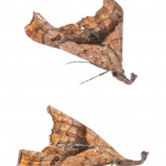 Dark-spotted Palthis (Palthis angulalis)