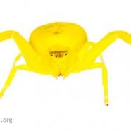 Flower Crab Spiders (Misumena vatia)