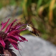 Hummingbird Clearwing Moth in action