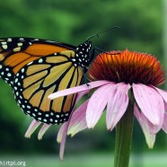 Monarch proposed to U.S. Endangered Species Act