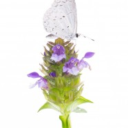 Summer Azure (Celastrina neglecta) on Self-heal (Prunella vulgaris)