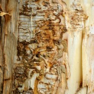 Early Signs of Emerald Ash Borer