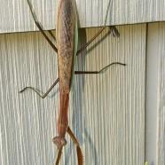 Mantis above Pachysandra