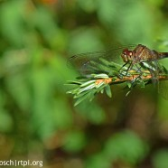 Meadowhawks abound