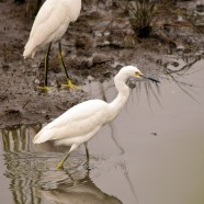 Snowy Egrets feeding under the clouds