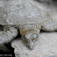 Spiny Softshell Turtle young
