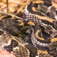 Timber Rattlesnake hunting