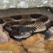 Timber Rattlesnake near den