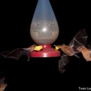 Fruit-eating Bats (Carollia castanea)