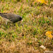 Dark-eyed Junco variation