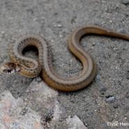 DeKay's Brown Snake (Storeria dekayi)