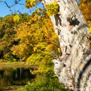 Sycamore Tree on a pond