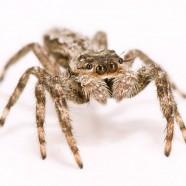 Helpful jumping spider