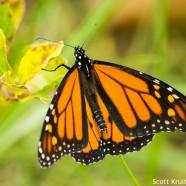 Migrant Monarch