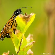 Resting Monarch