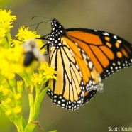 Monarchs massing in migration