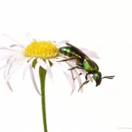 Pure Green Bee on White Aster