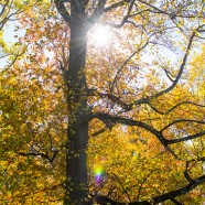 Sunlight on an autumn Tulip Tree