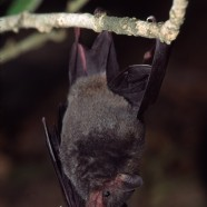 Pallas's Long-tongued Bat (Glossophaga soricina)