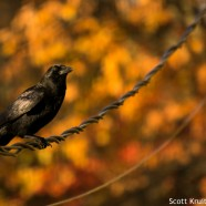 American Crow hunting acorns