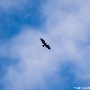 Always look up! Bald Eagles