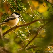 Black-capped Chickadee (Poecile atricapillus) irruption