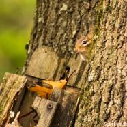 Eastern Chipmunk (Tamias striatus) saying hello
