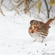 Feeding Fox Sparrow
