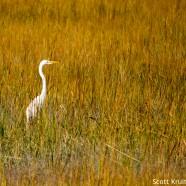 Overwintering Great Egrets
